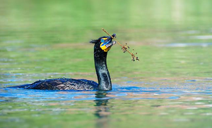Double crested cormorant 008 by Elluka-brendmer
