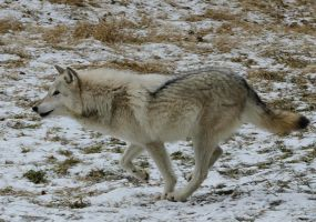 Grey Wolf IV by White-Voodoo