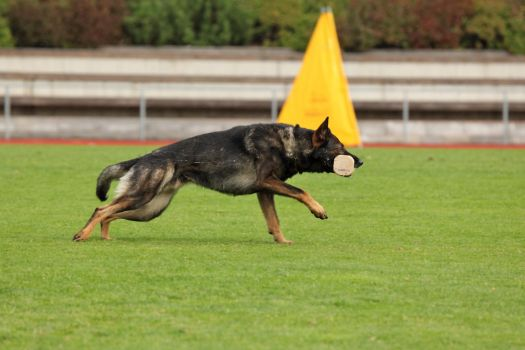 GSD retrieving by Miuquz