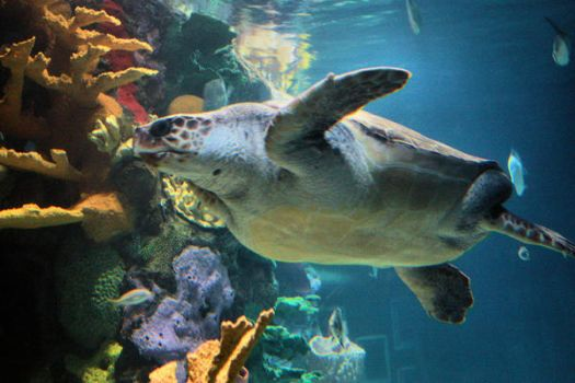 Marine Turtle - Caretta by shimaky