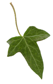 Ivy Leaf by PaulineMoss