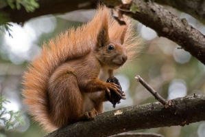 Dendrometric squirrel by Dunadan-from-Bag-End
