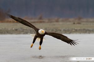 Bald Eagle preparing to land by softflower