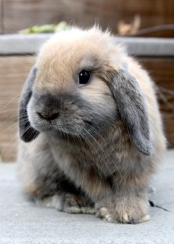 Little Holland Lop by Lambieb123