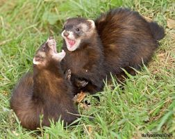 Duet in the key of polecat by jaffa-tamarin