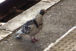 Pigeon on the station platform by nicolapin