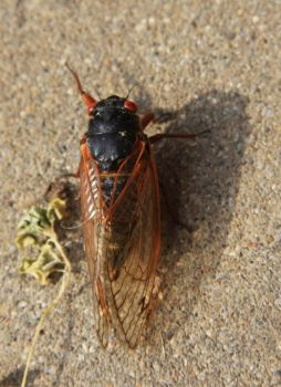 More Cicada Goodness by risawn