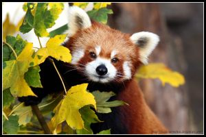 Red panda portrait II by AF--Photography