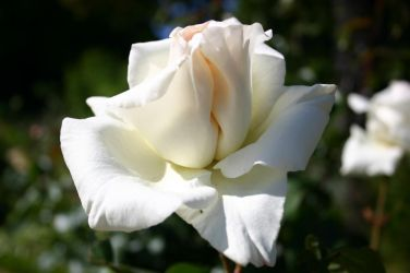 White rose by Pandate