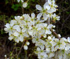 blackthorn by Mittelfranke