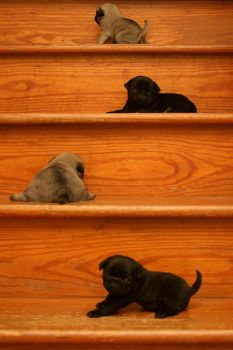 Four Little Pugs on the Stairs by TheJusticeLeague