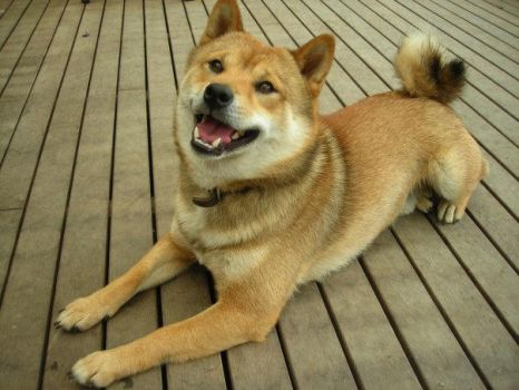 Balto the Shiba Inu by SquidleysProductions