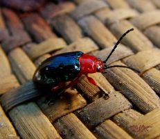 Jewel Beetle by ozplasmic