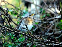 First Fieldfare. by quaddie