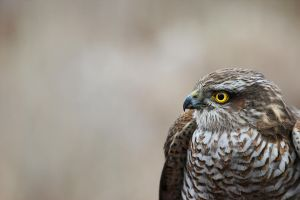 sparrow hawk by cola93