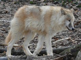 wolf stock 10 by Sikaris-Stock