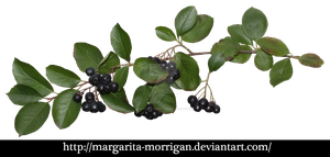 Aronia by margarita-morrigan