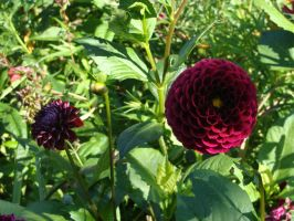 Dahlia by Fairling