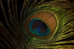 Peacock Feather by MariahLynnDesign