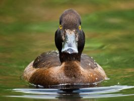Tufted Duck 00 - Jun 12 by mszafran