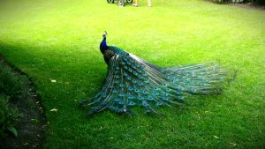 Calgary Peacock by MattnMello