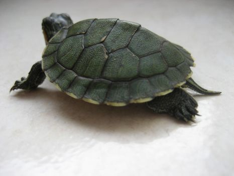 tiny green turtle 02 by turbosianor