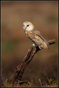 Perching Female Barn Owl by nitsch