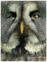 Owl close-up by aleania