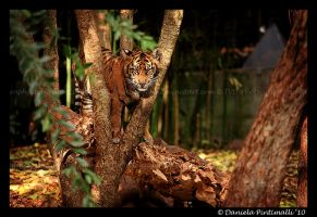 Baby Tiger: Climb II by TVD-Photography
