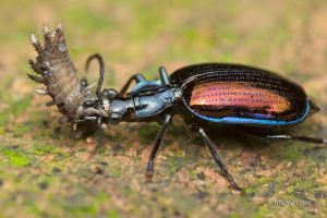 Ground Beetle eating by melvynyeo