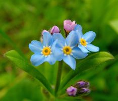 Forget-Me-Not, Tea by JocelyneR