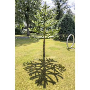 Monkey puzzle shadow by sequential