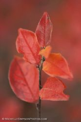 Red Leaves by MSimpsonPhotos