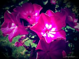 Summer Flower 2012 - 21 by Ingnition