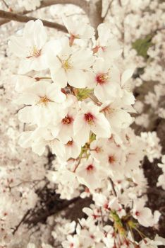 Cherry Blossoms 2013 by penragonwebsite