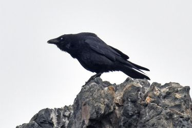 8449 Crow on the rock by RealMantis