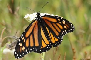 Monarch 2017 by natureguy