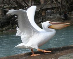 Tautphaus Zoo 16 Pelican by Falln-Stock