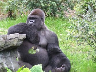 gorilla by just4getme