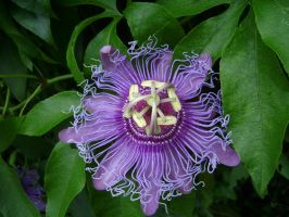 Passionflower 2 by graphiteandpaint
