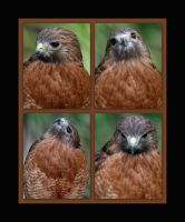 Four poses of a Hawk by OpticaLLightspeed