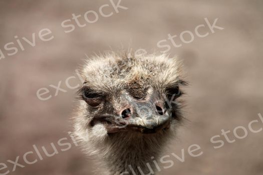 Ostrich by MagicFotoStock