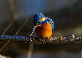 Kingfisher Diaries (1) by Mincingyoda