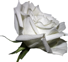 White Rose 01 PNG by Thy-Darkest-Hour