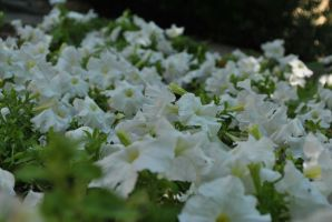White flowers by DscoverMyWorld