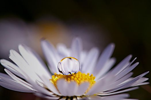 Daisy with Drop..daisy with drop..Daisy with Drops by IreneHorvath