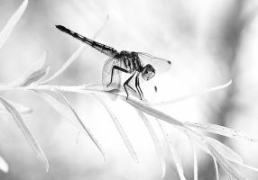 Black and White Dragonfly by Monkeystyle3000