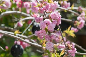 More Cherry Blossom 7 by ianwh