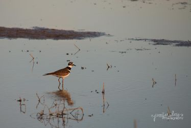 Killdeer by lanephotography