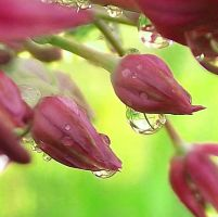 Water Drops On Onion (Allium Aflatunense) 6-1 by net-uash